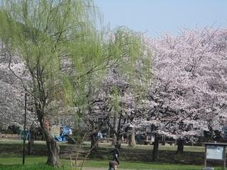 20180401柏の春1.jpg